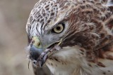 _MG_6204 Red-tailed Hawk taking Mallard.jpg