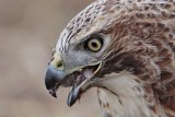 _MG_6219 Red-tailed Hawk taking Mallard.jpg