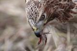 _MG_6248 Red-tailed Hawk taking Mallard.jpg