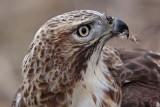 _MG_6268 Red-tailed Hawk taking Mallard.jpg