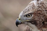 _MG_6569 Red-tailed Hawk.jpg