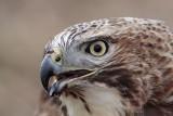 _MG_6594 Red-tailed Hawk.jpg