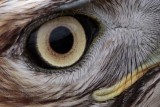 _MG_6679crop Red-tailed Hawk.jpg