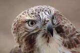 _MG_6744 Red-tailed Hawk.jpg