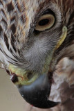 _MG_6824crop Red-tailed Hawk.jpg