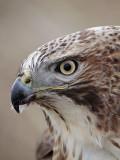 _MG_6832 Red-tailed Hawk.jpg