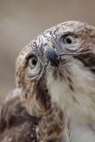 _MG_6861 Red-tailed Hawk.jpg