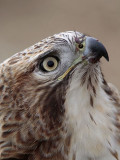 _MG_6884 Red-tailed Hawk.jpg
