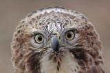 _MG_7160 Red-tailed Hawk taking Mallard.jpg