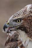 _MG_7203 Red-tailed Hawk taking Mallard.jpg