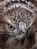 _MG_7282 Red-tailed Hawk taking Mallard.jpg