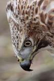 _MG_7295 Red-tailed Hawk.jpg