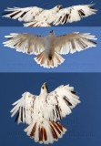 Leucistic Red-tailed Hawk - Katy - Texas -  January 2010