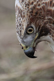 _MG_7331 Red-tailed Hawk.jpg