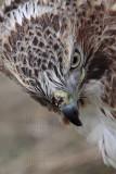 _MG_7334 Red-tailed Hawk.jpg