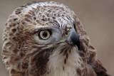 _MG_7359 Red-tailed Hawk.jpg