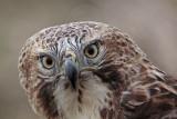 _MG_7379 Red-tailed Hawk.jpg