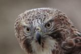 _MG_7380 Red-tailed Hawk.jpg