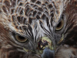 _MG_7383 Red-tailed Hawk.jpg