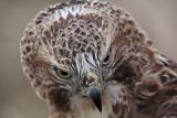 _MG_7384 Red-tailed Hawk.jpg