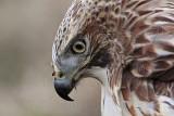 _MG_7408 Red-tailed Hawk.jpg