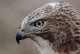_MG_7454 Red-tailed Hawk.jpg