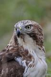 _MG_7539 Red-tailed Hawk.jpg