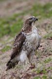 _MG_7599 Red-tailed Hawk.jpg