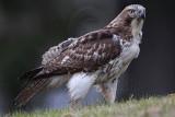 _MG_7613 Red-tailed Hawk.jpg