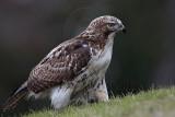 _MG_7677 Red-tailed Hawk.jpg