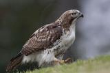 _MG_7683 Red-tailed Hawk.jpg