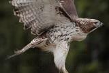 _MG_7704 Red-tailed Hawk.jpg