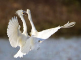 Snowy Egret - fight#2