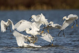 Snowy Egret foraging in flocks