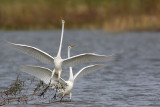 Great Egret - fight#7