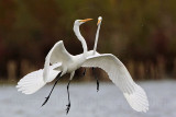 Great Egret - fight#6