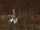 Great Egret - fight#3