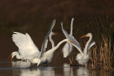 Great Egret - fight#2