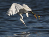 Snowy Egret - Aerial Feeding - Winter 2009-10