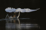 Snowy Egret - Art in Aerial Foraging