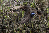 Possible American Black Duck (Anas rubripes) – Upper Texas Coast