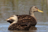 Mottled Duck (Anas fulvigula) – Upper Texas Coast