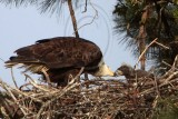 Bald Eagle – Feeding young - March 2010