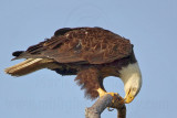 Bald Eagle – Cleaning bill - March 2010