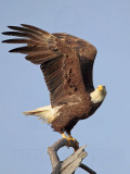 Bald Eagle – Taking off from perch – Baytown March 2010