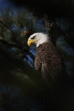 Bald Eagle – Portraits - March 2010