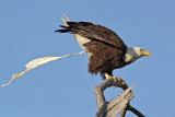 Bald Eagle – Defecating on perch - March 2010