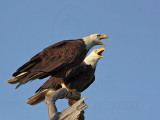 Bald Eagle – Pair calling on perch - March 2010