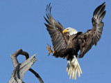 Bald Eagle – Landing on perch – Baytown March 2010
