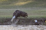 Bald Eagles - Baytown - Pair Bathing, April 13, 2010